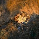 leopardo acechando