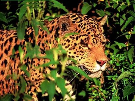 leopardo acechando en el bosque
