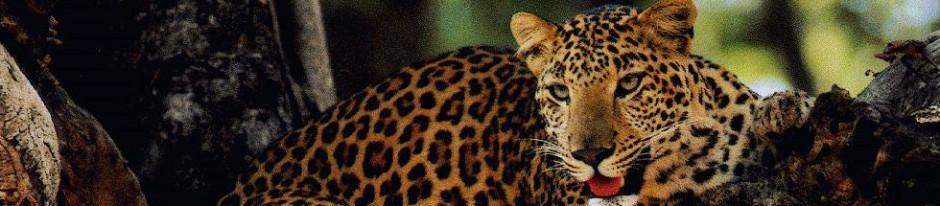 Anatomía del leopardo » LEOPARDOPEDIA