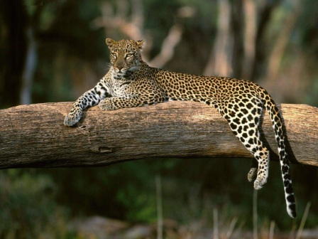 leopardo descansando en arbol