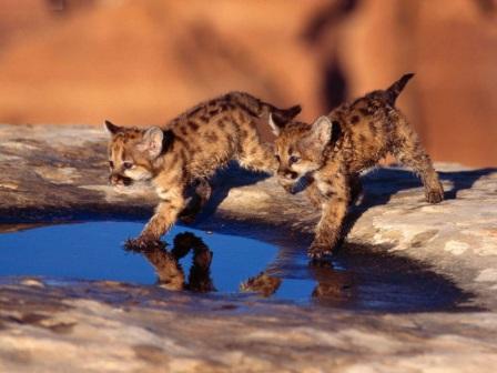 cachorros de leopardo