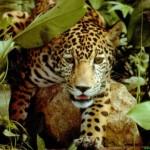 leopardo en la maleza